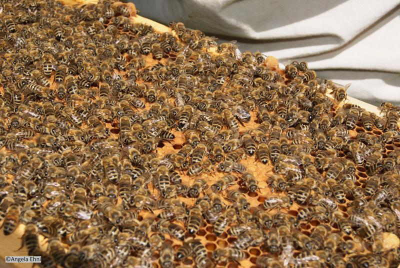Honigbienen auf Wabe