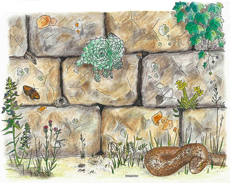 """Trockenmauer – ein vielseitiger Lebensraum; Broschüre """"Handlungsleitfaden Trockenmauer""""; Strichzeichnung, koloriert"""